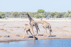 Three Namibian giraffes, giraffa camelopardalis angolensis, one. Drinking water at a waterhole in northern Namibia Stock Images