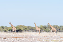 Three Namibian giraffes, Giraffa camelopardalis angolensis, walk. Ing through a field covered in white, calcrete, rocks in Northern Namibia Royalty Free Stock Image
