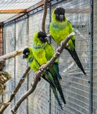 Three Nanday parakeets sitting together on a branch in the aviary, Colorful and tropical small parrots from America. Three Nanday parakeets sitting together on a royalty free stock photography