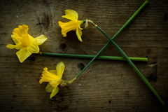 Three narcissus flowers on brown table Stock Photos