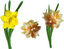 Three narcissus flowers  on white Stock Photos