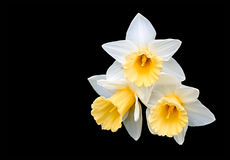 Three narcissuses Royalty Free Stock Images