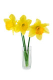 Three narcissuses. Isolated on a white background Royalty Free Stock Photography