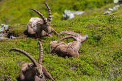 Three natural male alpine capra ibex capricorns sitting relaxed. In green meadow royalty free stock photos