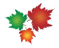 Three Neat Colorful Maple Leaves on White Backgrou Royalty Free Stock Image