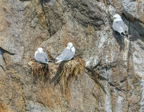 Three nesting seagulls on rockwall Stock Image