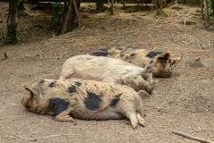 Three New Zealand Kunekune Pigs Sleeping On Warm Day stock photo
