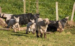 Three New Zealand Lambs Stock Photography