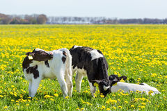 Three newborn calfs in spring meadow with dandelions stock images