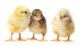 Free Three Newborn Chickens Royalty Free Stock Image - 30314986