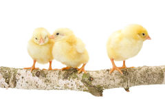 Three newborn chickens standing on wooden branch Royalty Free Stock Photos