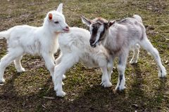 Three newborn goats on farmyard royalty free stock photography