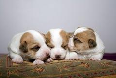 Three newborn Jack Russel Puppies Stock Images