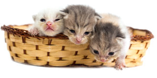 Three newborn kitten in a basket on a white background Stock Image