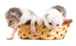 Three newborn kitten in a basket on a white background Stock Images
