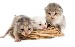 Three newborn kitten in a basket on a white background Stock Photography