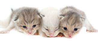 Three newborn kitten isolated on white background Royalty Free Stock Image