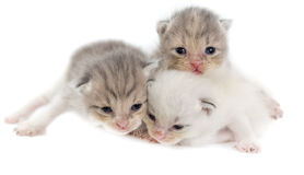 Three newborn kitten isolated on white background Stock Photo