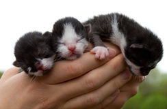 Three newborn kittens in hands Stock Photo