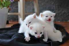 Three newborn kittens on the porch. In fact, there are four kittens. Fourth  kitten is grey and did not immediately notice Royalty Free Stock Images