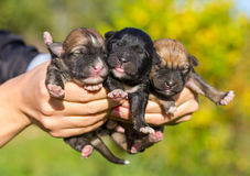 Three newborn puppies in female hands Royalty Free Stock Photography