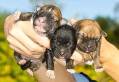 Three newborn puppies in hands Stock Images
