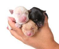 Three Newborn Puppies Sleeping. Newborn Puppies Sleeping on the Palm of a Human Hand Stock Images