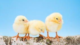 Three newborn yellow chickens standing on wooden branch Royalty Free Stock Photo
