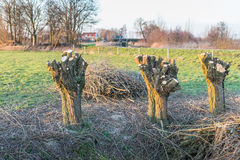 Three newly pollarded willows Stock Image