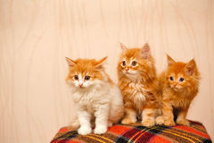 Three nice little ginger kittens sitting on plaid Stock Photos