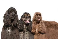 Three nice posing american cocker spaniel Stock Photography