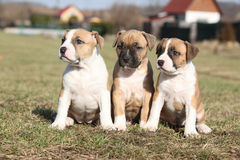 Three nice puppies of Stafford sitting together Royalty Free Stock Image