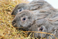 Three nice rabbit Stock Photography