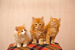 Three nice red kittens sitting on plaid Stock Photography