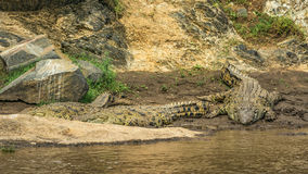 Three Nile crocodiles on the banks of the Mara river, Kenya Stock Images