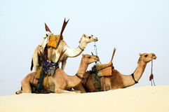 Three nomad camels in the desert. Three saddled Tuareg nomad camels in the desert Royalty Free Stock Photo