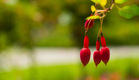Three non-dissolved flowers of fuchsia on a blurred background. Stock Photo