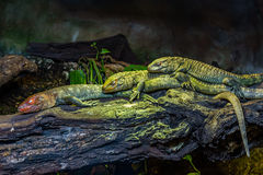 Three Northern Caiman Lizards Royalty Free Stock Photos