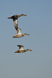 Three Northern Shovelers Flying in a Blue Sky Royalty Free Stock Photography