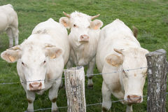 Three nosy charolais cows Stock Image