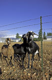 Three nubian goats by the fence. Royalty Free Stock Image