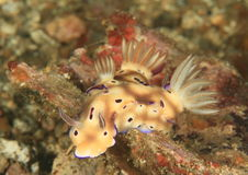 Three nudibranches chromodoris leoparda Stock Images