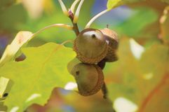 Three Oak Acorns macro closeup Royalty Free Stock Photos