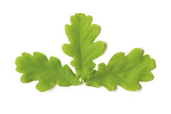 Three Oak leaves. Three green oak leaves isolated on white stock images