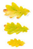 Three oak leaves Royalty Free Stock Photos
