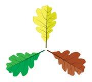 Three oak leaves Stock Photo