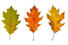 Three oak leaves Stock Photos
