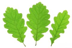 Three oak leaves (Quercus robur). Oak leaves isolated against a white background (Quercus robur Royalty Free Stock Photo