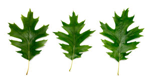 Three oak tree leaves Stock Photo
