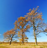 Three oak trees in the field Stock Photo